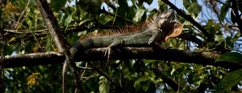 Costa Rica. Tirimbina Resort. Iguana.